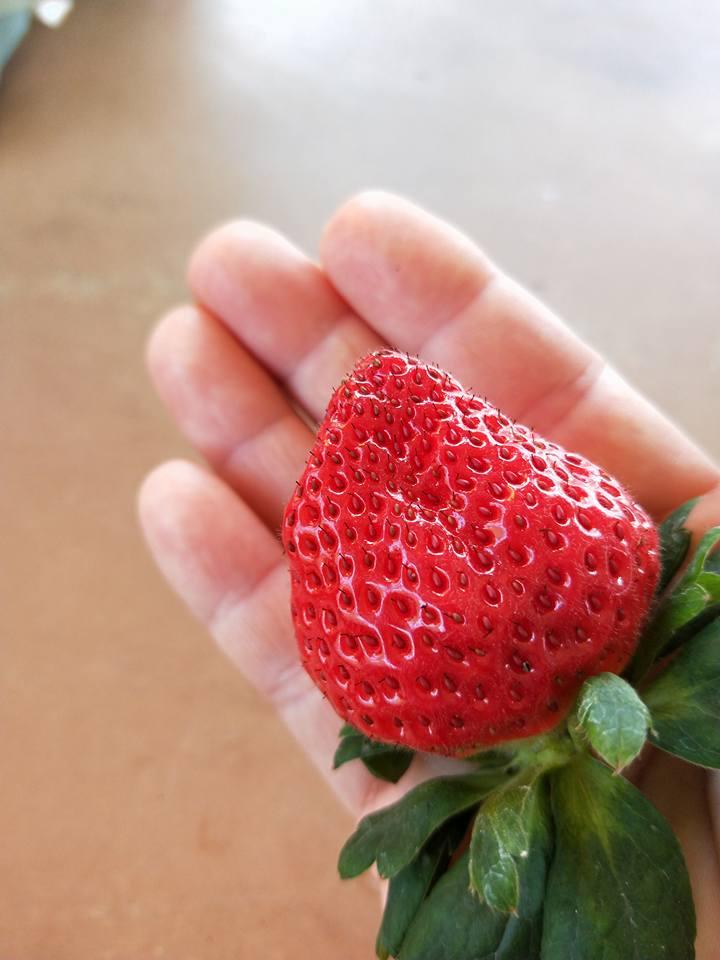 大湖草莓季三月大爆量  採草莓就是要來大湖!